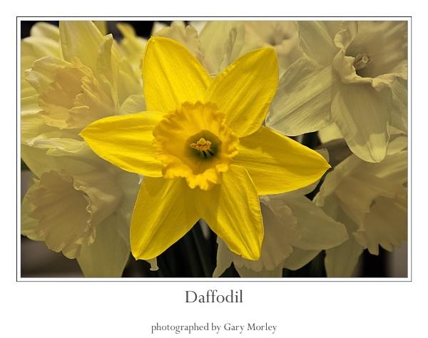 Daffodils by gmorley