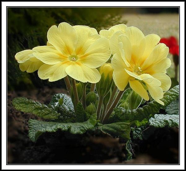 Yellow Primrose. by rpba18205