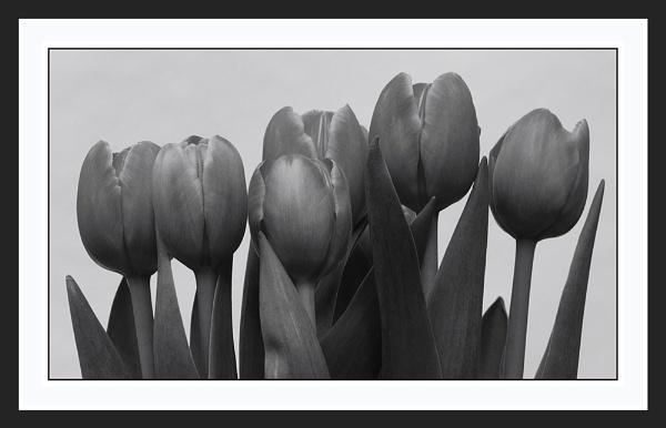 Tulips Duotone by rockfish
