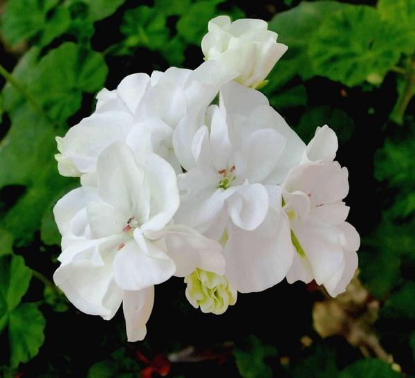 White by Swamiji