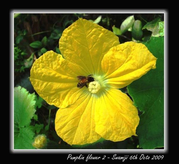 Pumpkin flower 2 by Swamiji