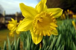 Blazing Daffodils