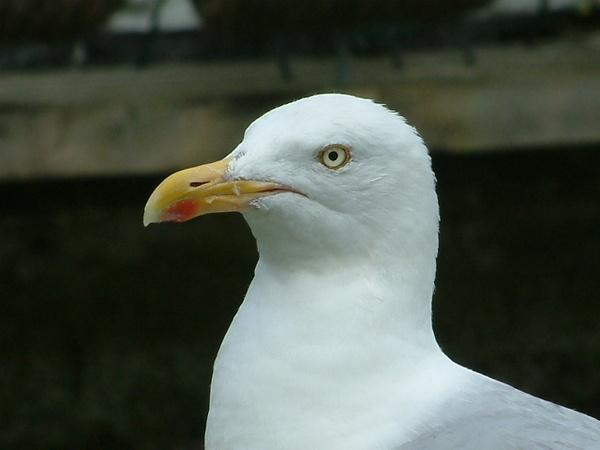 Seagull by Jarmara