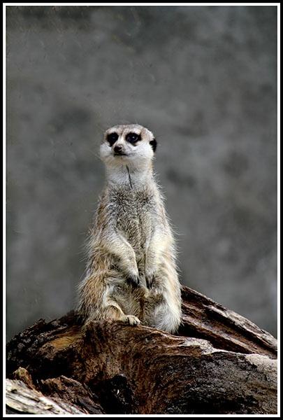 Meerkat by sidestep