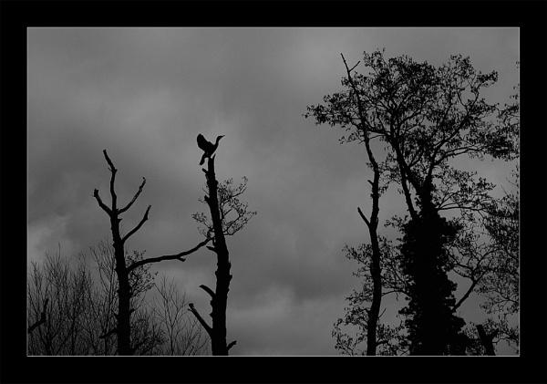 Cormorant by markharrop