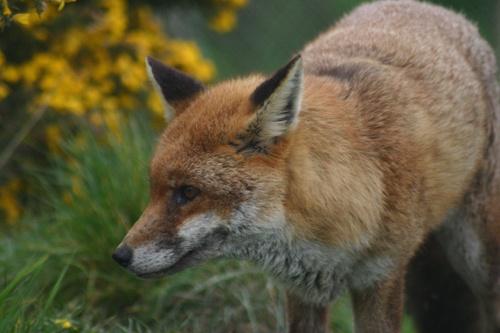 Fox by alfacolin156