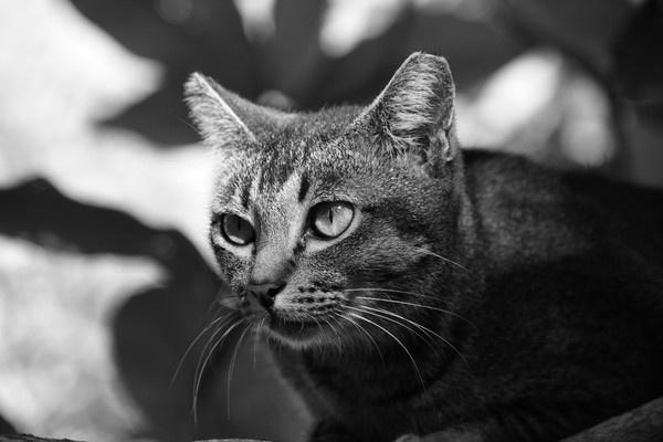 Langkawi Cat by KevF