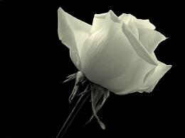 Donna's Rose