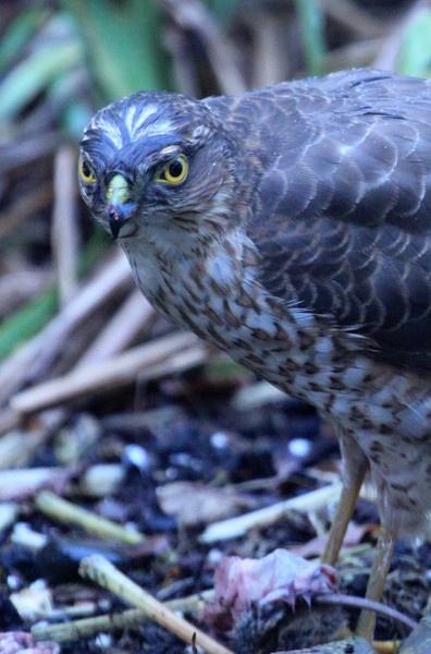 Urban Sparrowhawk by netsukekoi