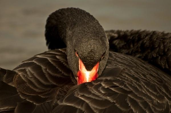 Black Swan by colmar