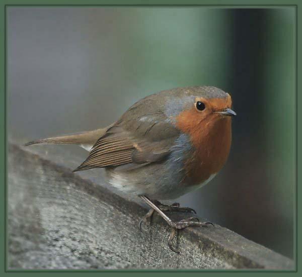 Robbie the robin by gerrymac