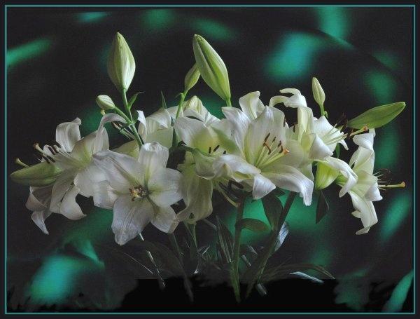 Lilies by gerrymac