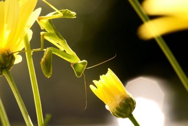 Green Praying Mantis by kgb224