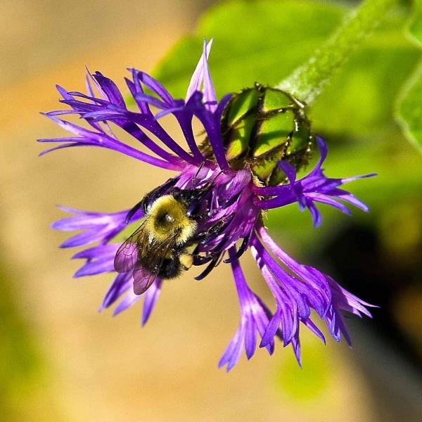 Centaurea Triumfettii with bee by Fuimus