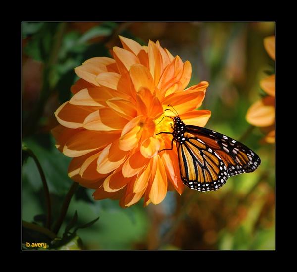 Monarch Butterfly by Bondgirl