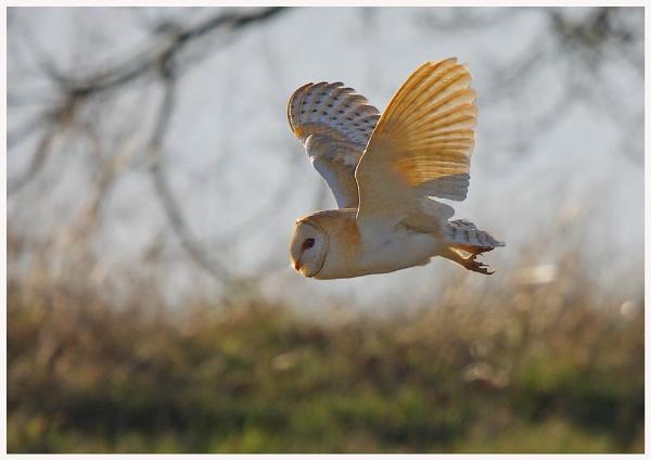 Barn Owl by Tom-Melton