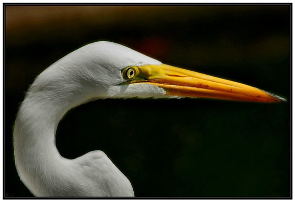 Egret by maryg