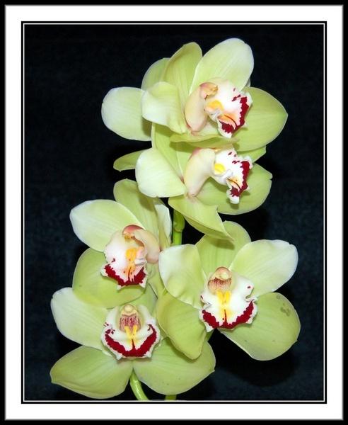 Orchid by Bazman