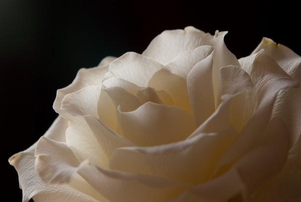 Lone Rose by essexdean