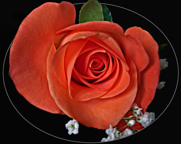 Rose by heids