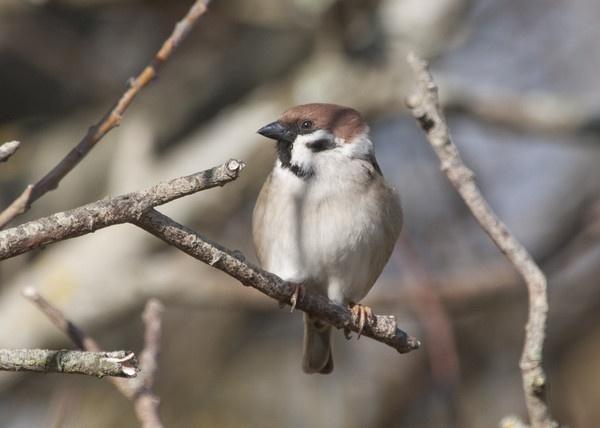 Tree sparrow (Passer montanus) by Gio