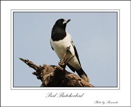 'Pied Butcherbird'