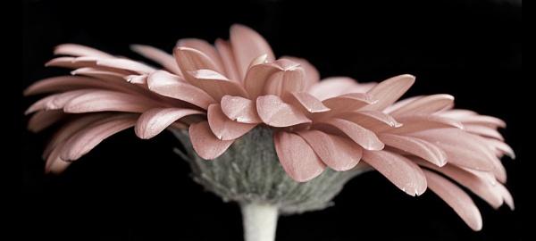 Gerbera in Pink by PurrfectlyKat