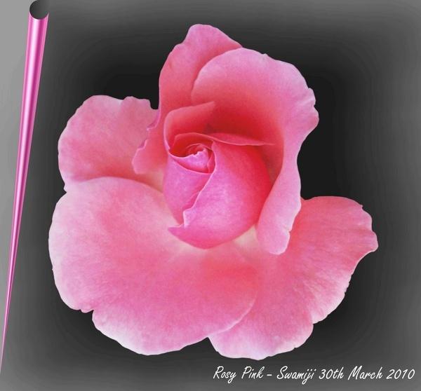 Rosy pink by Swamiji