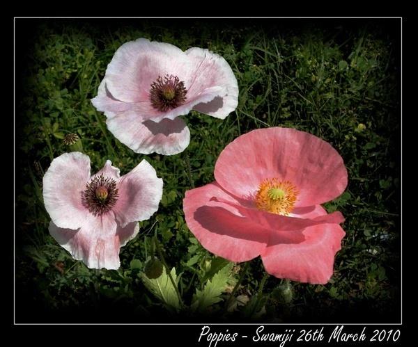 Poppies by Swamiji
