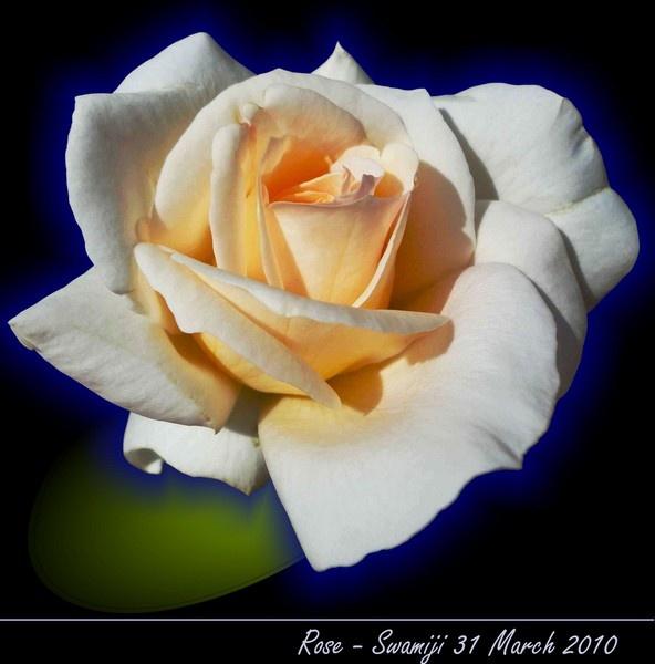 White rose by Swamiji