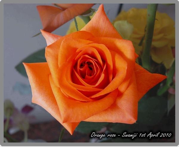 Orange rose by Swamiji