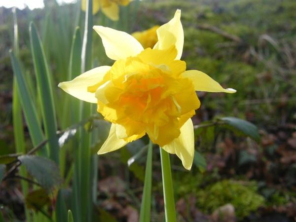 Daffodil by framojunior