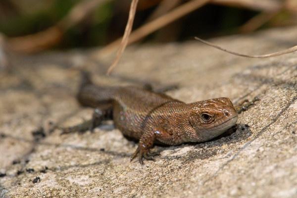 Common Lizard by ChrisJD