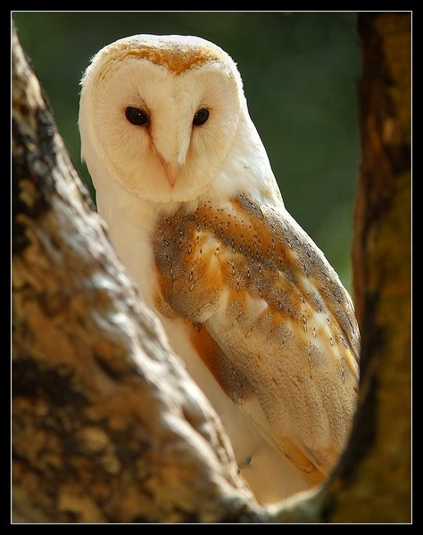 Barn Owl 2 by alben
