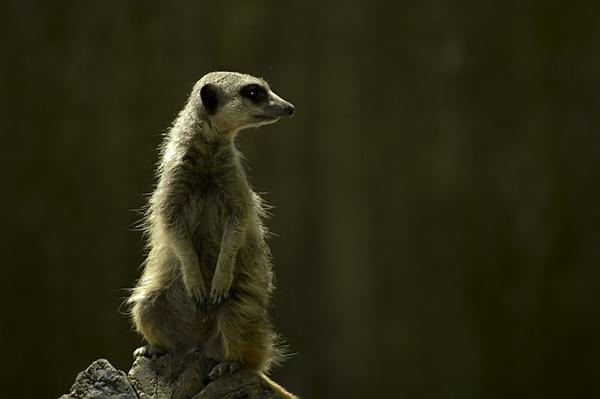 Meerkat by royd63uk