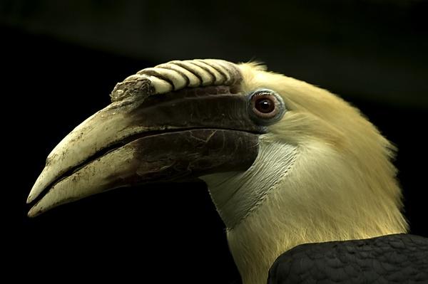 Hornbill by royd63uk