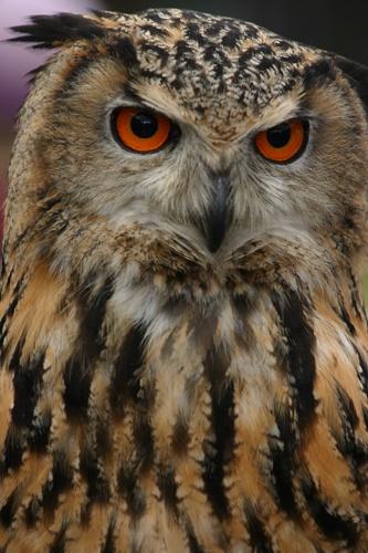 European Eagle Owl by alfacolin156