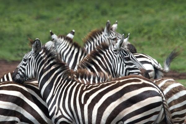 Zebra Crossing.. by rogerfry