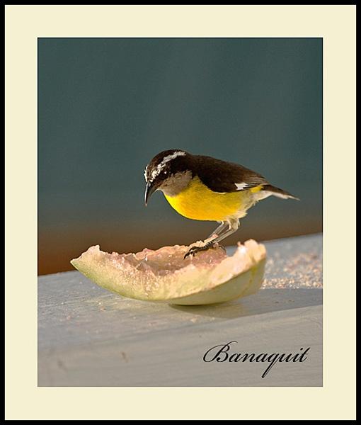 Banaquit by bumbleb3