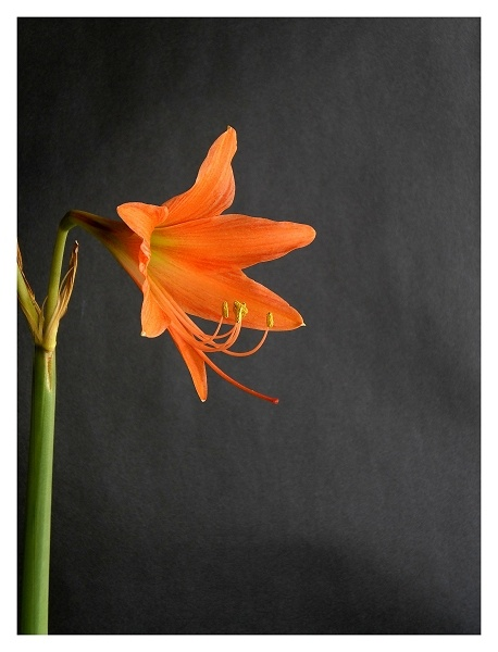 Weekend Lily (2) by ChiliMan