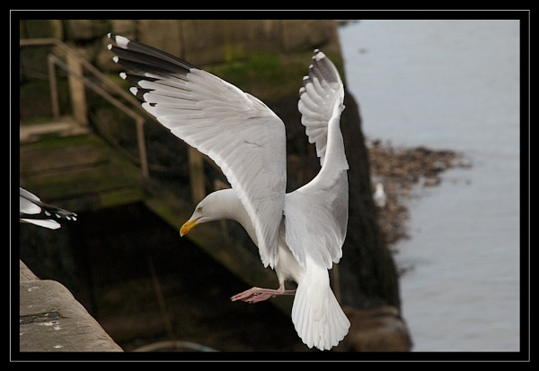 Gull Landing by GaryR