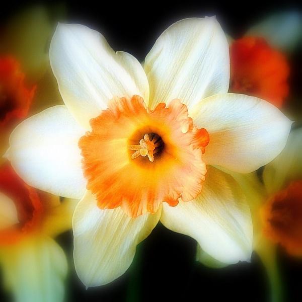 Daffy Dill......... by nickyv32