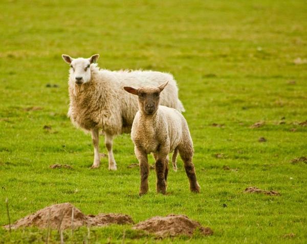 Ewe Looking at Me ? by colmar