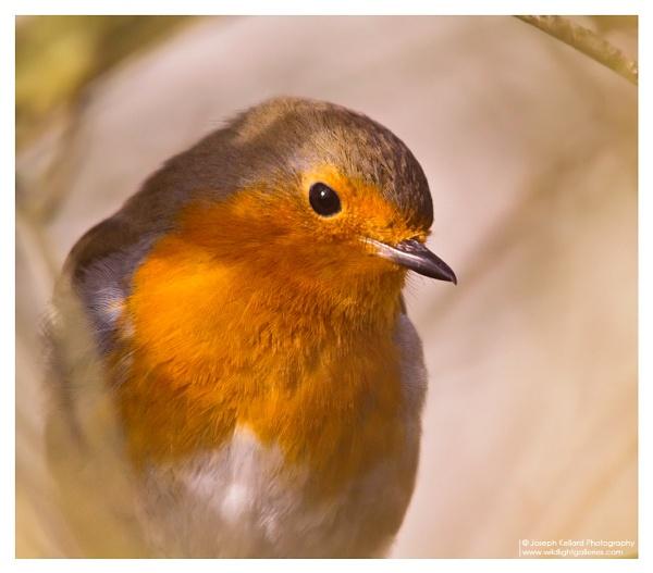 Robin by WildLight
