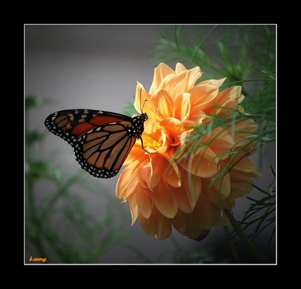monarch by Bondgirl