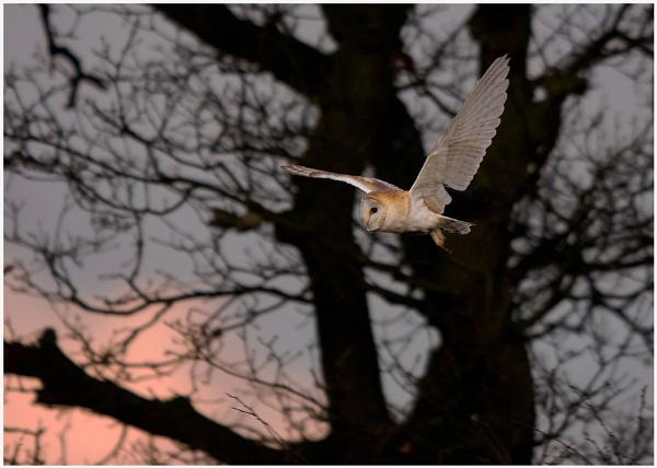 Barn owl at sunset by Tom-Melton