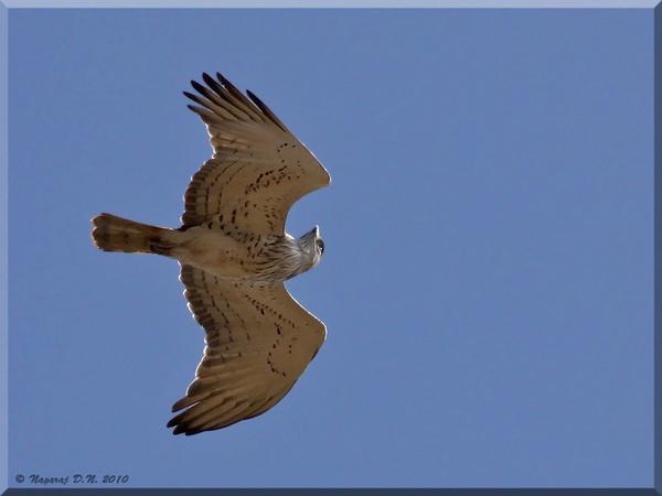 Short toed Snake Eagle by nasoteya