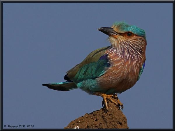 Indian Roller by nasoteya