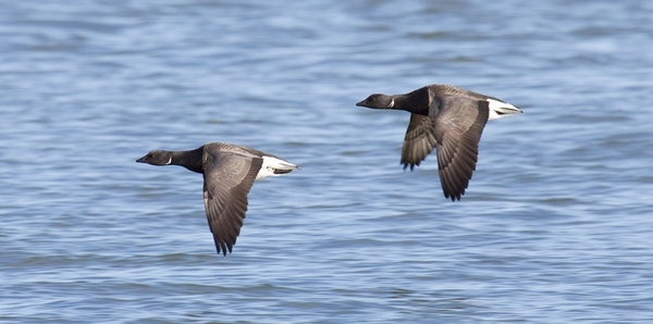 Brent Geese by JJP