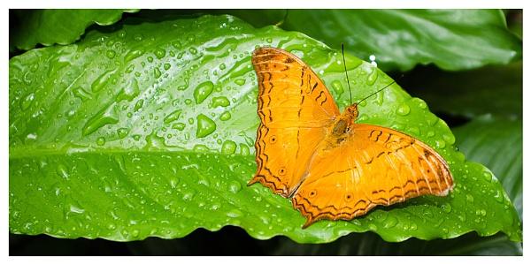 Butterfly by KevinFrohlich